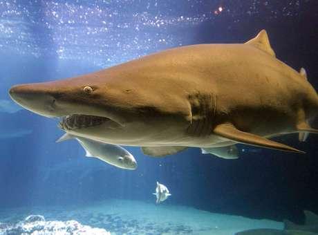 Tubarões tem confundido cabos com presas