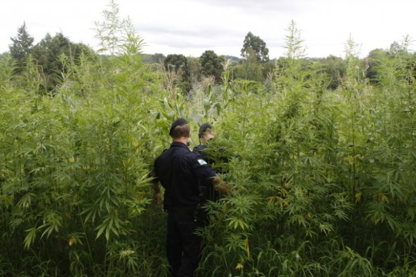 Foram erradicados cerca de 100 mil pés da droga, que caso fossem colocadas no mercado, representariam 28,5 toneladas da erva pronta para o consumo.