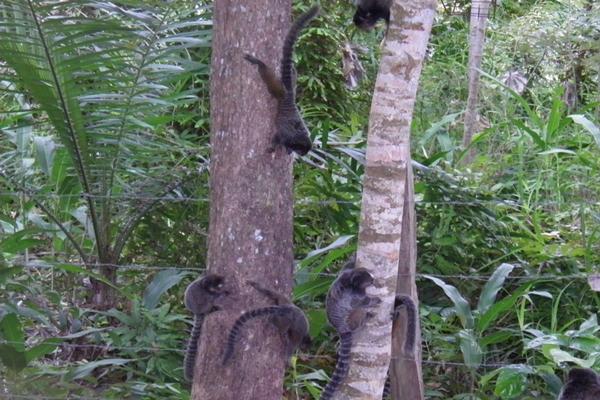 Micos Leões de cara preta transitam livremente no local