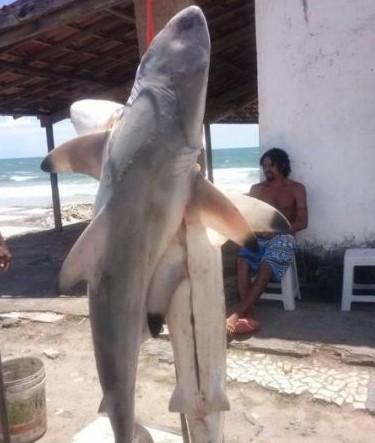 Trata-se de tubarões da espécie cabeça-chata.