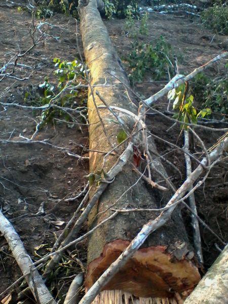 Árvores centenárias estão sendo derrubadas (Foto: Leitor BN