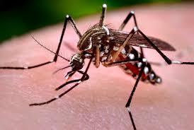 O Zika Vírus é transmitido pela picada do mosquito aedes aegypti, aedes albopictus e outros tipos de aedes.