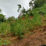 MARAÚ: POLICIA DESCOBRE PLANTAÇÃO DE MACONHA E TRAFICANTE É MORTO EM CONFRONTO (Veja fotos)