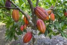 O sul da Bahia tem a maior área plantada e lá está o mais inovador produtor de cacau do mundo
