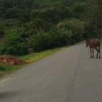 UBAITABA: ANIMAIS  SOLTOS   NA ESTRADA  DE FAISQUEIRA AUMENTAM RISCO DE ACIDENTES