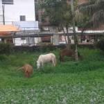 UBAITABA: ANIMAIS PASTAM LIVREMENTES NA AVENIDA BEIRA RIO