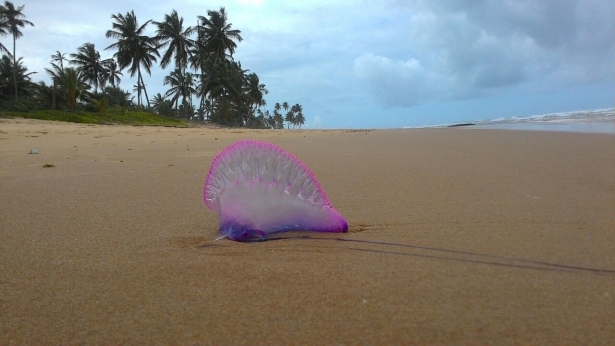 A reportagem do site Barra Grande News registrou a presença delas na praia da Bombaça
