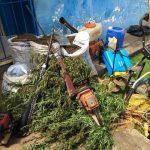 CAMAMÚ: OPERAÇÃO DA POLÍCIAS CIVIL  DESTRÓI CENTENAS DE PÉS DE MACONHA  NA ZONA RURAL