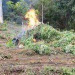 IBIRATAIA: DESCOBERTA PLANTAÇÃO DE MACONHA; 6 FORAM PRESOS
