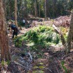 BELMONTE: ENCONTRADA PLANTAÇÃO COM  1.500 PÉS DE MACONHA